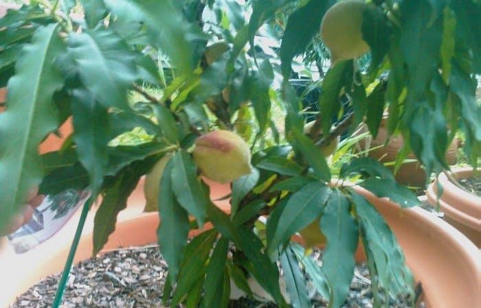Можно ли вырастить орех макадамия в домашних условиях и как это сделать? Пошаговая инструкция