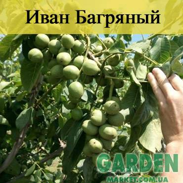 Walnuts broker: как правильно посадить саженцы грецкого ореха идеал, кочерженко, иван багряный