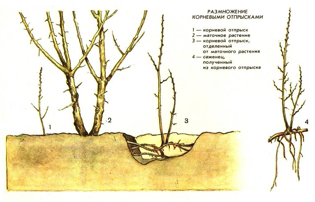 Размножение лещины: описание разных способов | огородники