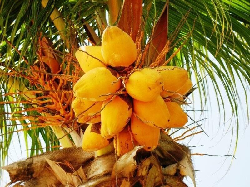Финиковая пальма: «царица оазисов», дающая «хлеб пустыни»