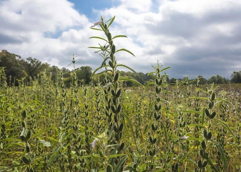 Как растет кунжут: выращивание разных видов полезного растения сезам из семечек