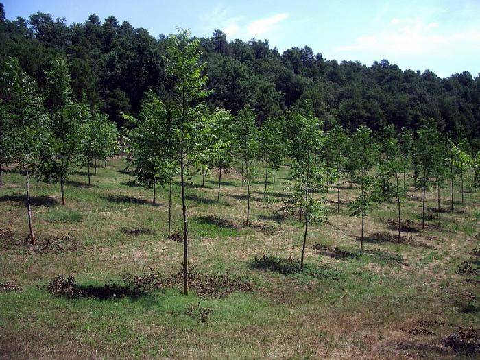 Уход и выращивание фундука