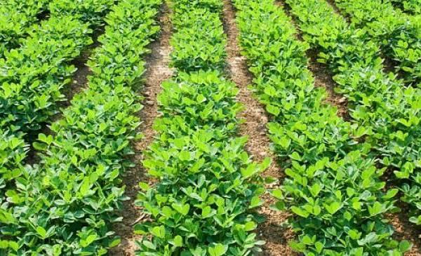 Выращивание арахиса в открытом грунте: посадка и уход