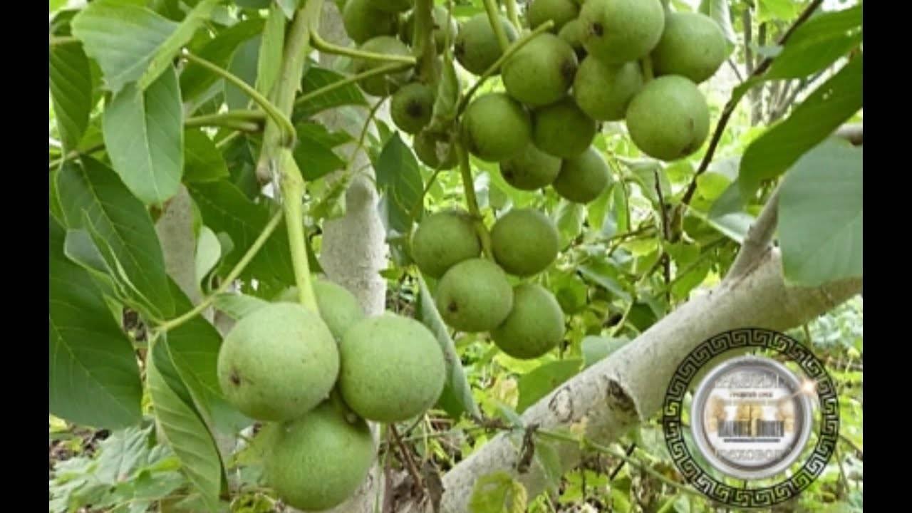 Walnuts broker: урожайность грецкого ореха идеал, кочерженко, иван багряный, великан, яцек, бомба
