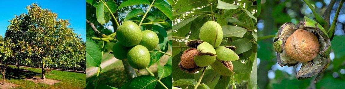 Когда грецкий орех созревает, как можно снимать урожай с дерева, собирать на хранение, в какое время появляются орешки, как спеют, как узнать о сезоне (сроке) сбора?