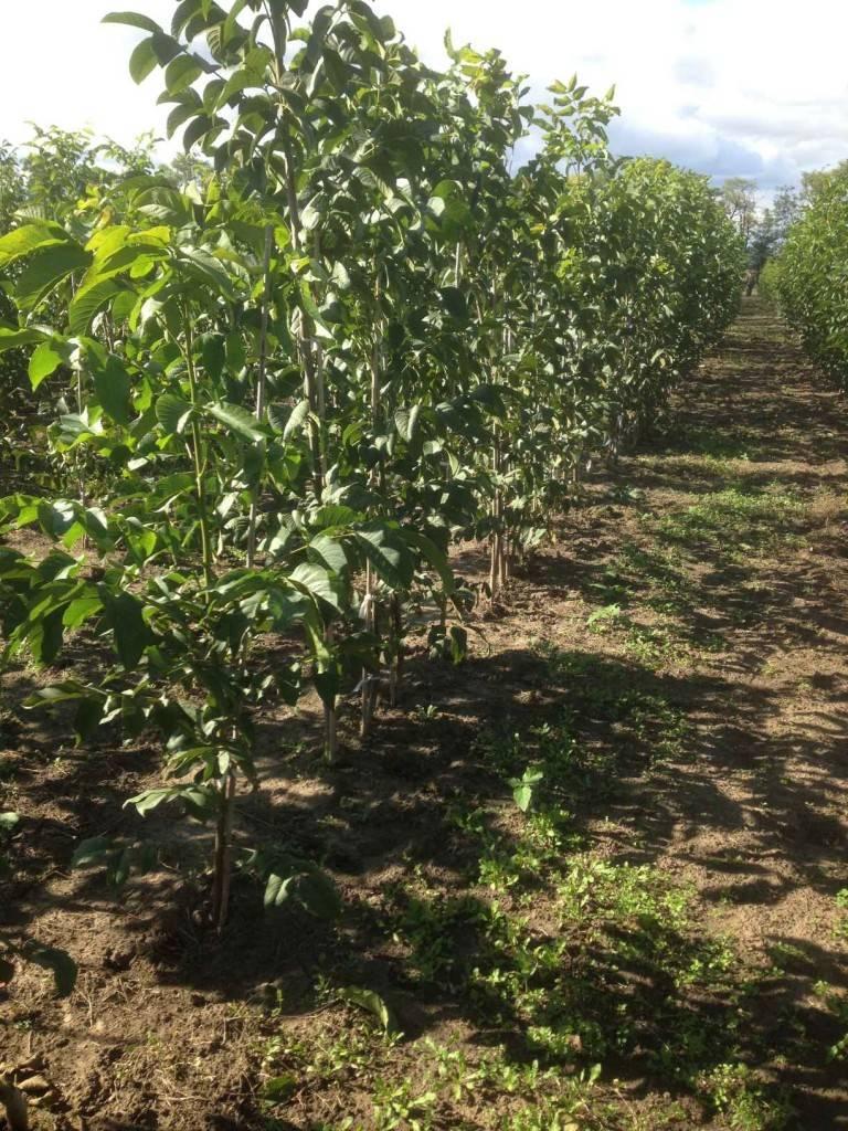 Грецкий орех. интенсивный сад — портал ореховод