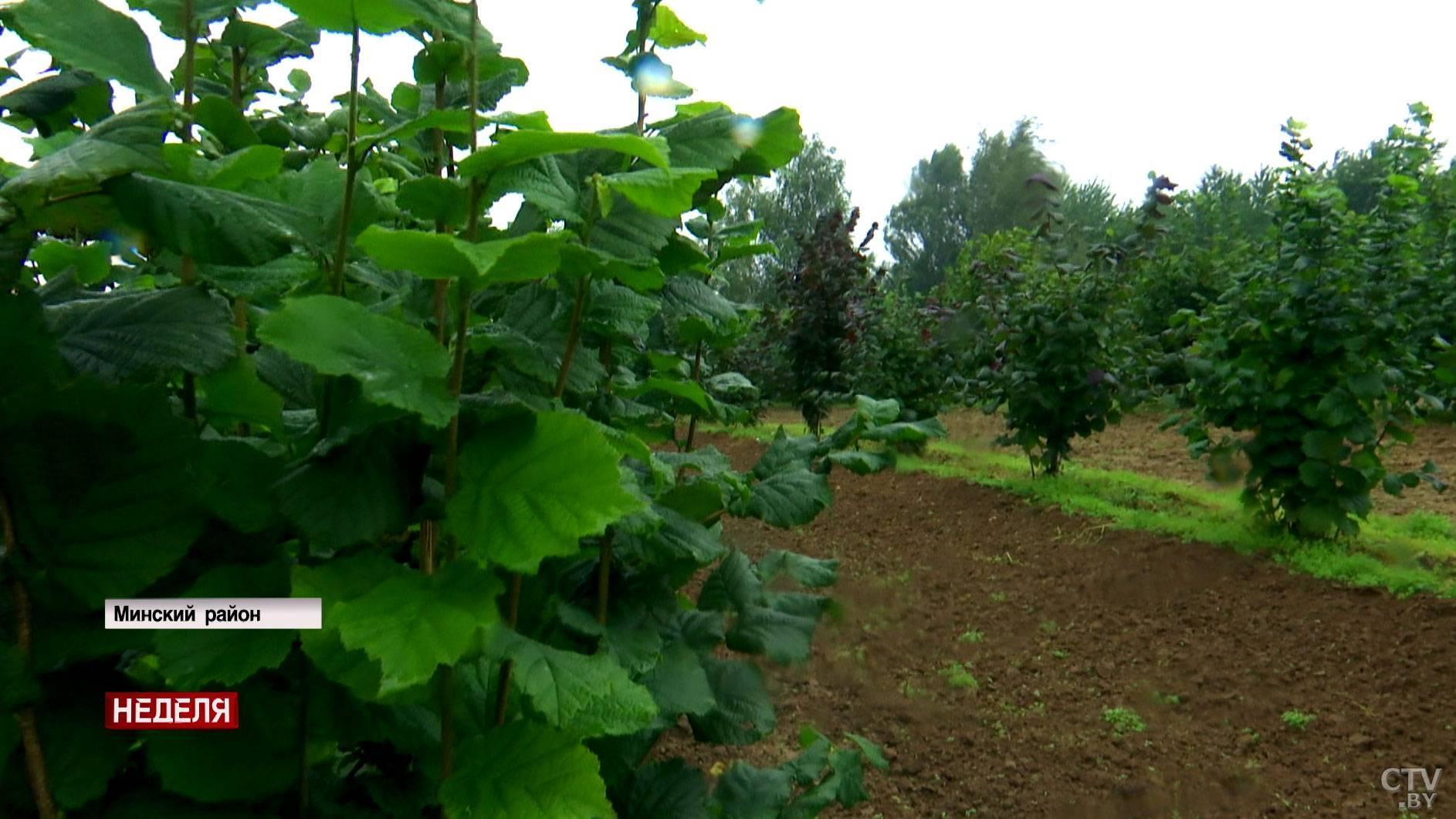 Выращивание орехов как бизнес. расчеты и советы :: businessman.ru