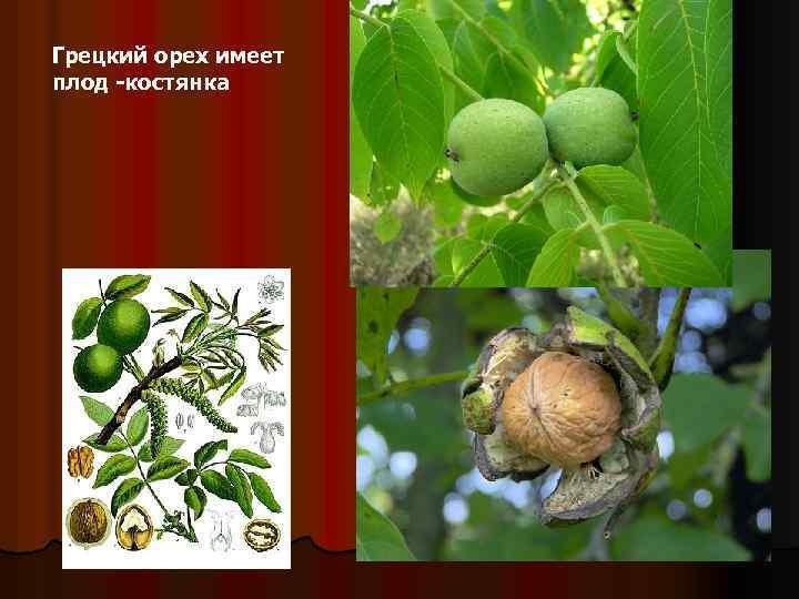 Полезные свойства зеленого грецкого ореха для человека