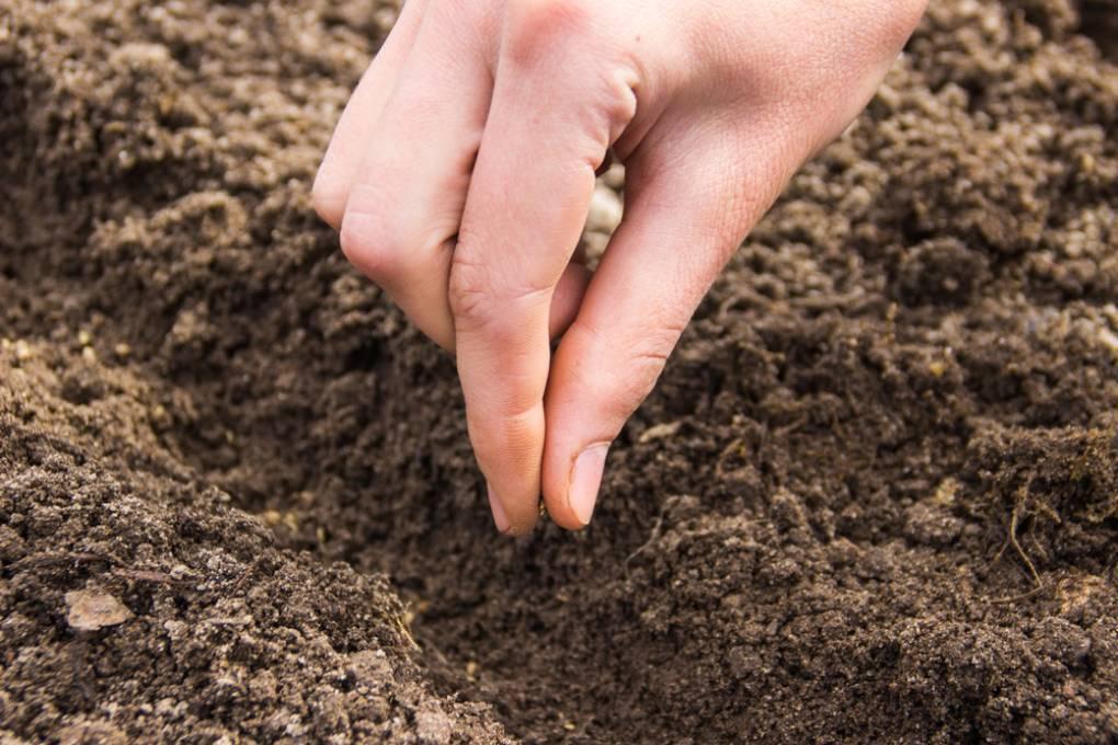Как вырастить арахис на даче