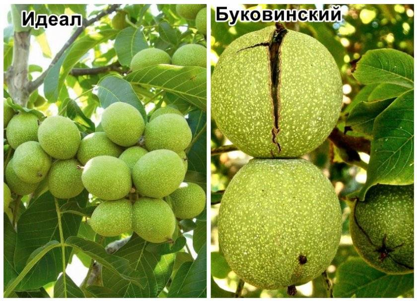 """Почему не плодоносит грецкий орех: каковы причины, а также когда цветёт дерево и как его """"заставить"""" давать урожай, что для этого делать?"""