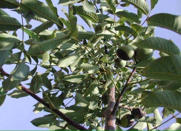 Инфо - royal walnuts