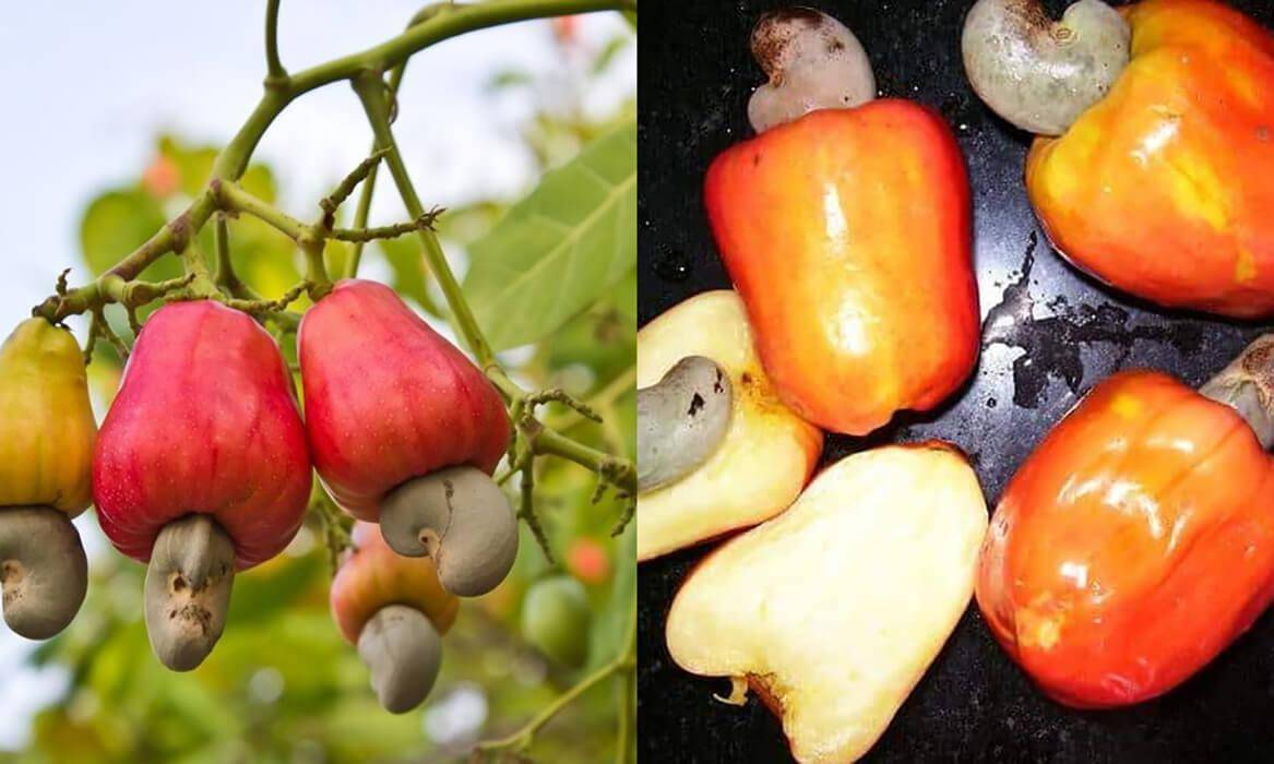 Где растут необычные орехи кешью