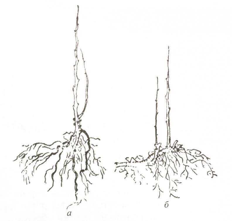 Иглица: растение для рождественских венков и души