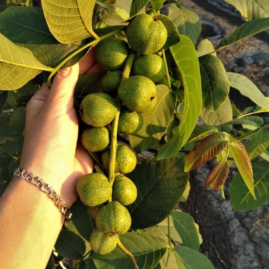 Орех чандлер: описание и характеристики сорта, посадка и уход, урожайность