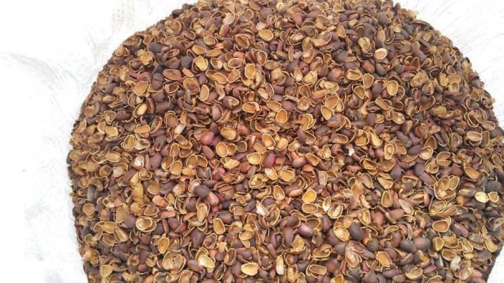 Уникальный кедровый орех – почему полезна даже его скорлупа?