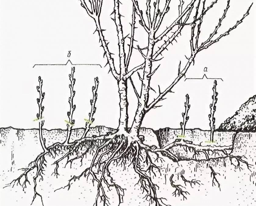 Обрезка фундука: как формировать кустом или деревом