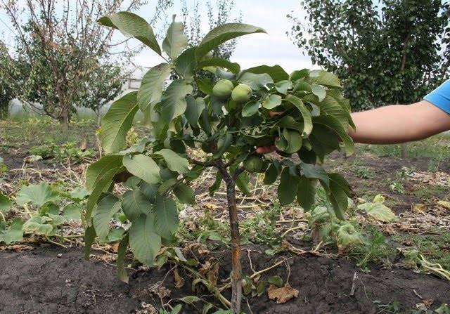 Через сколько лет начинает плодоносить грецкий орех: в каком возрасте после посадки наступает время первого сбора, как долго дерево растет и дает урожай?