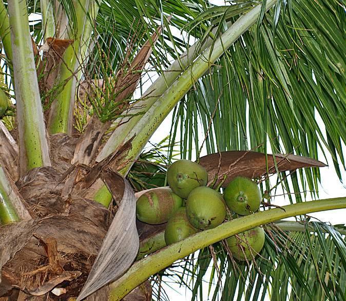 Родина бананов, как растут, описание | zdavnews.ru