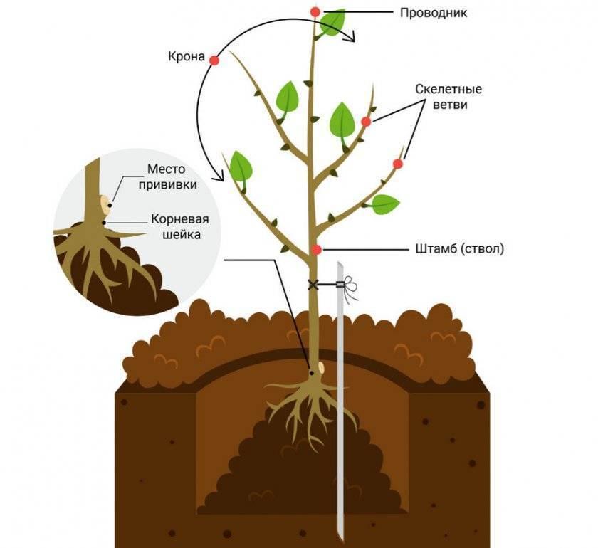 Миндаль из косточки: как вырастить дерево из ореха, где лучше посадить — дома или в огороде, и нюансы выращивания культуры из семян в разных условиях