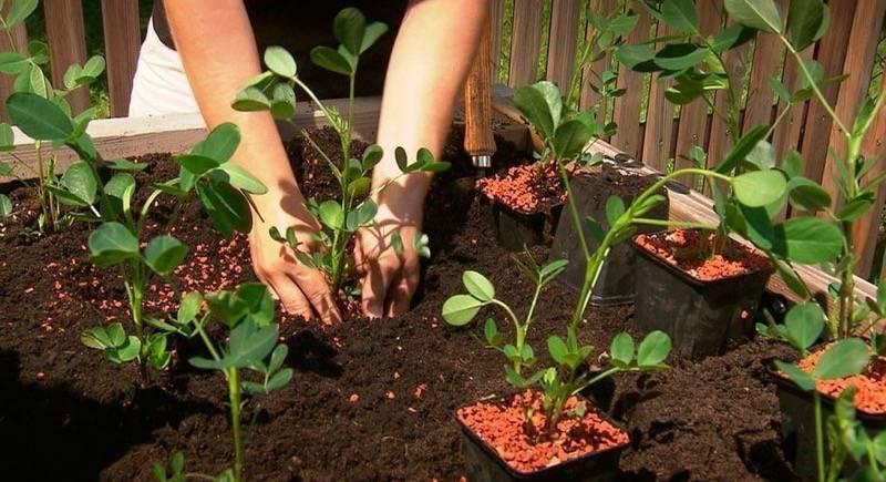 Как посадить арахис в домашних условиях на огороде