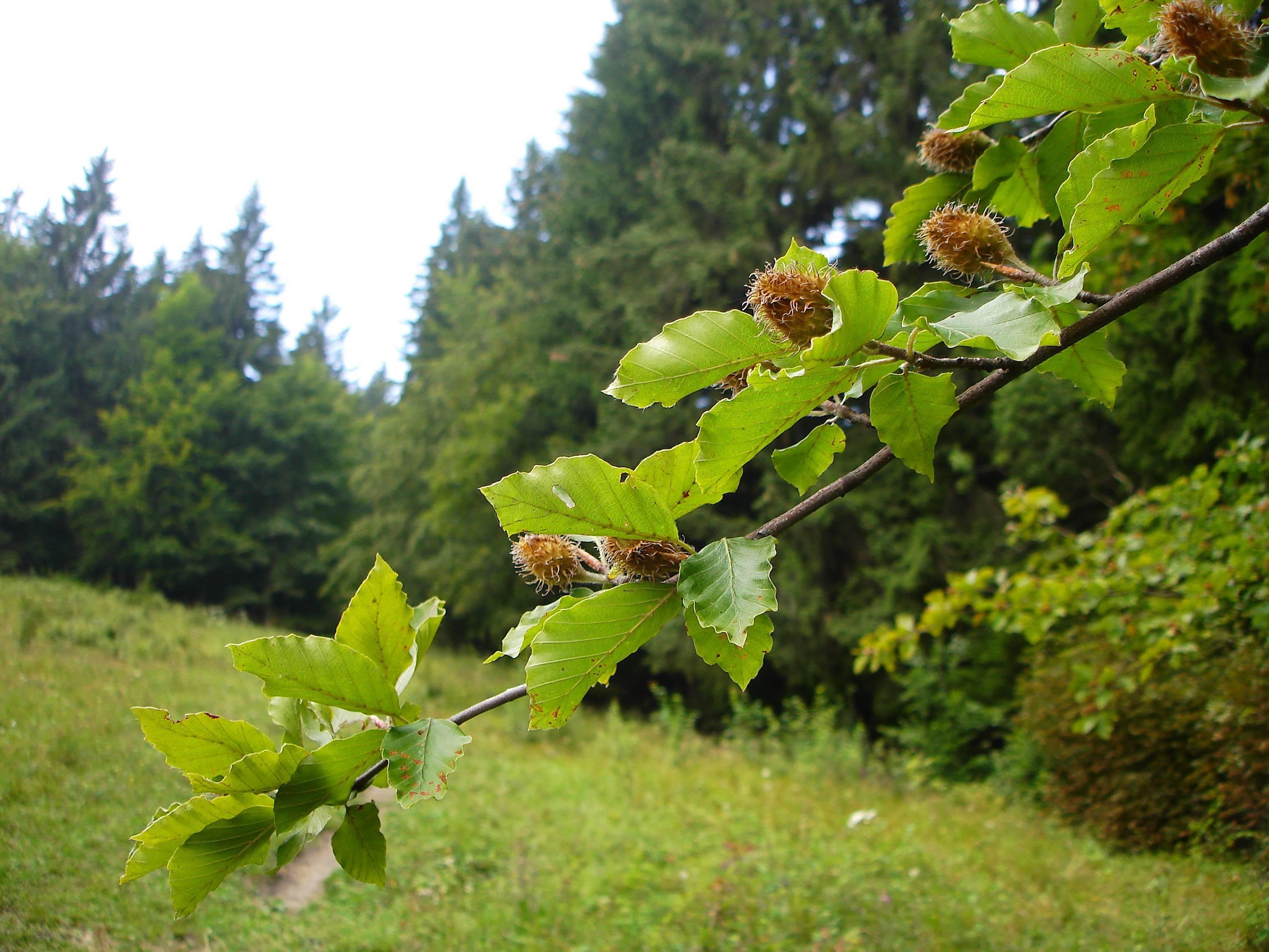 Фундук (лесной орех) польза и вред для организма, полезные свойства и противопоказания