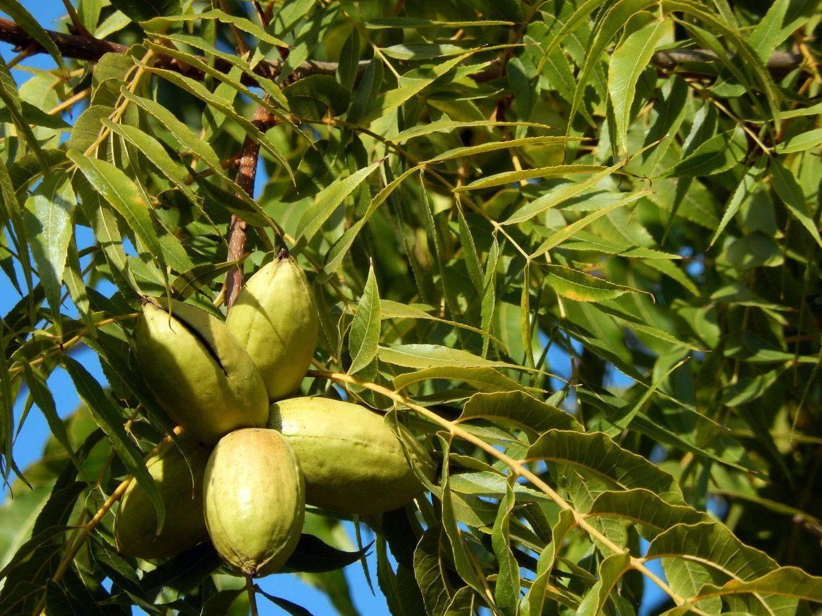 Орех пекан: что это такое, где и как растет, как выглядит, описание дерева