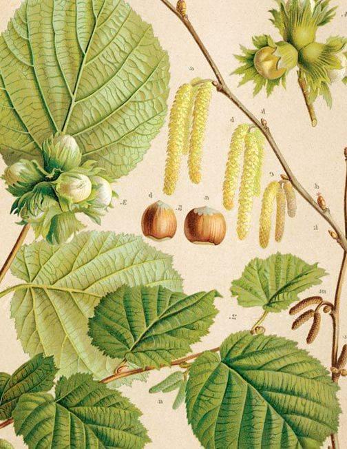 Лещина, лесной орех, орешник в народной культуре