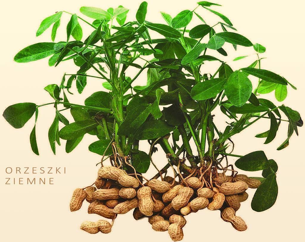 Арахис — описание, полезные и вредные свойства, состав, калорийность, рецепты, фото