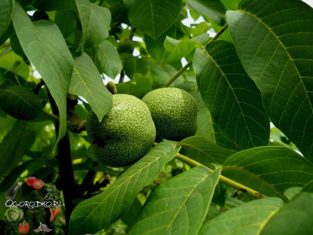 Как стать миллионером: урожай грецкого ореха в крыму