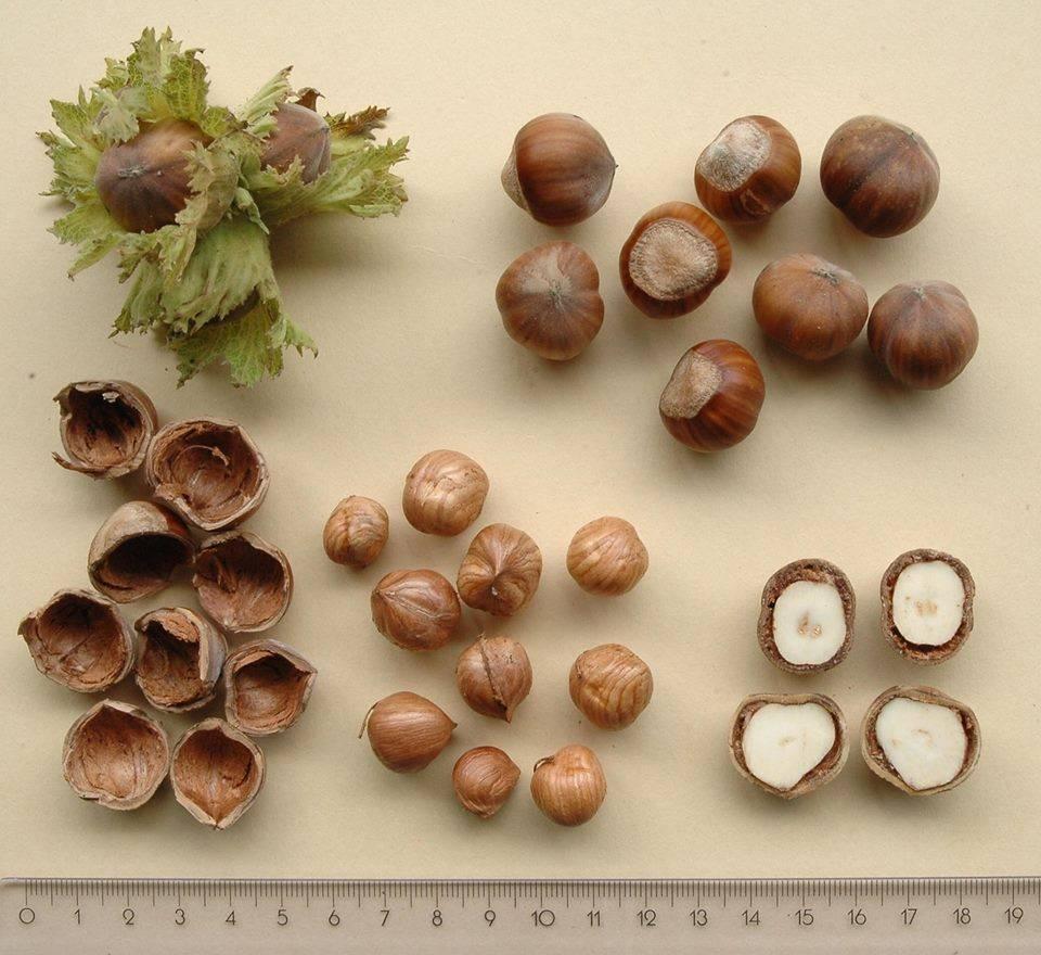 Авелланы. лесной орех, фундук, лещина