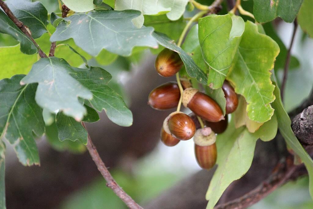 Чем полезны плоды дуба и стоит ли их употреблять