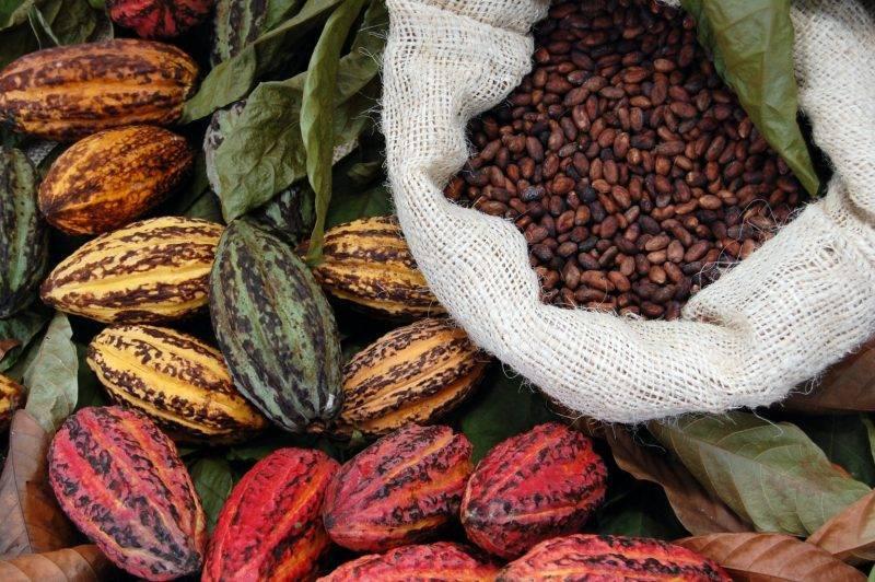 Какао-бобы: полезные свойства, использование, противопоказания
