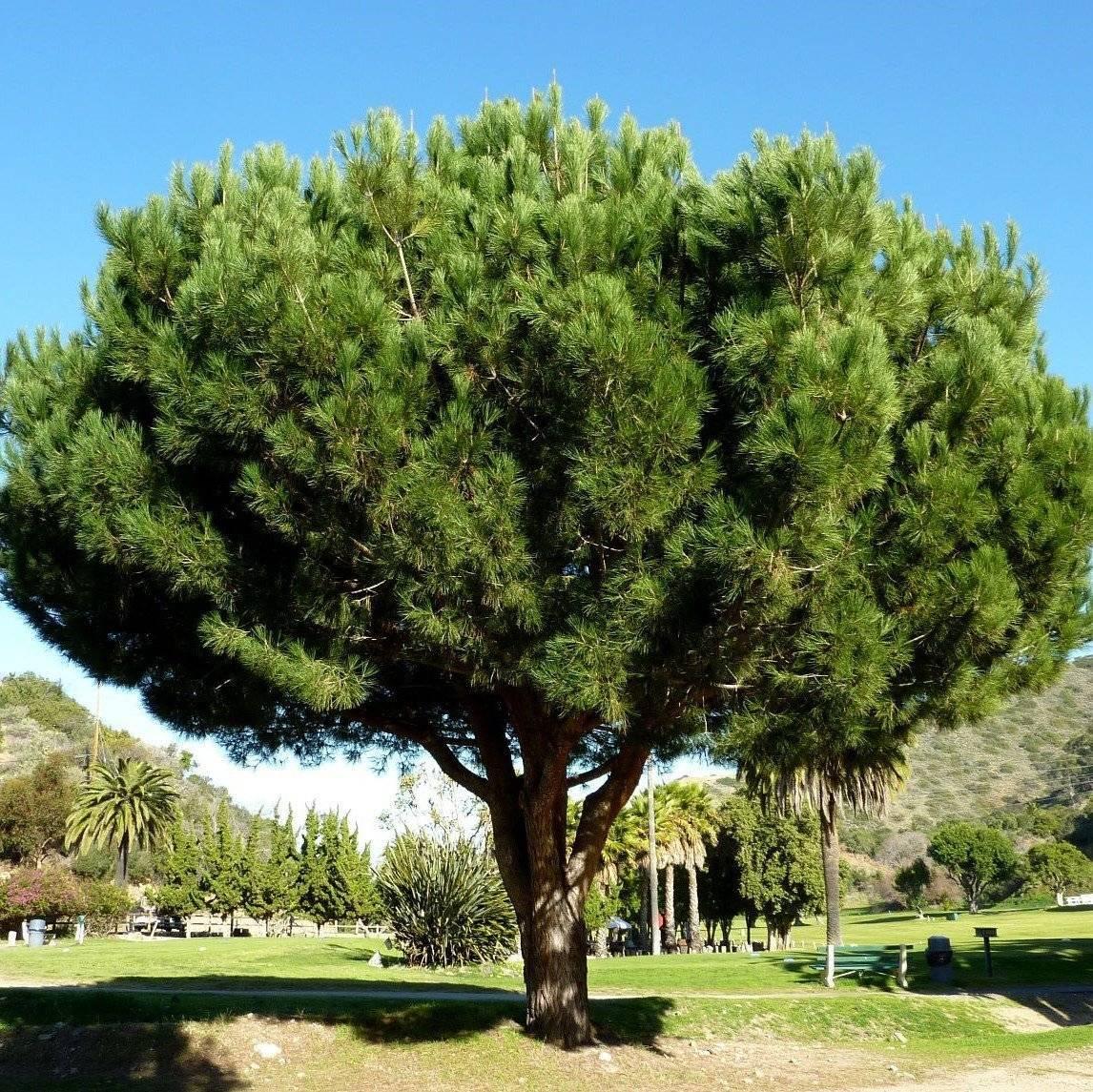 Пиния итальянская: особенности выращивания и ухода за средиземноморской сосной, применение семян pinus pinea
