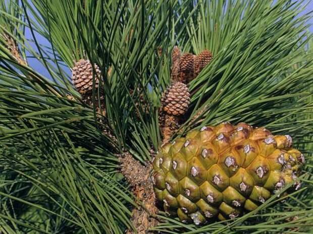 Растение сосна: фото, сорта, выращивание, посадка и уход в открытом грунте