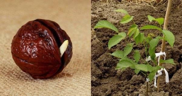 Как правильно прорастить грецкий орех в домашних условиях?
