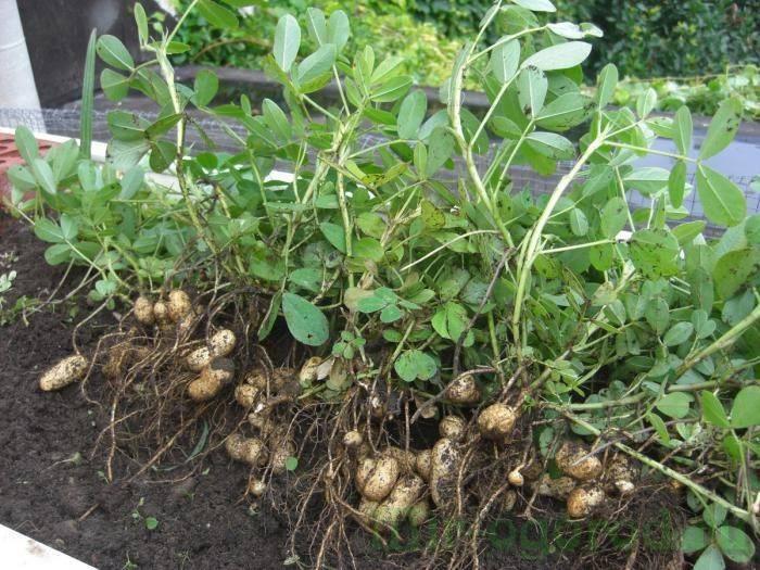 Как вырастить арахис на урале в открытом грунте