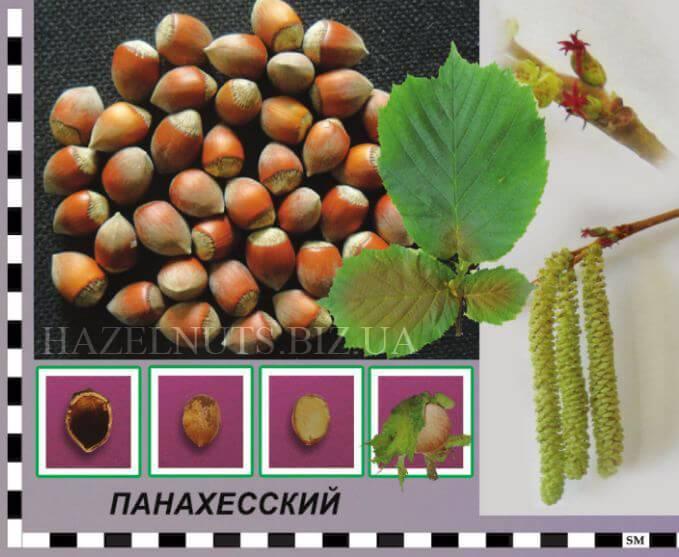 Фундук (орешник): сорта для выращивания
