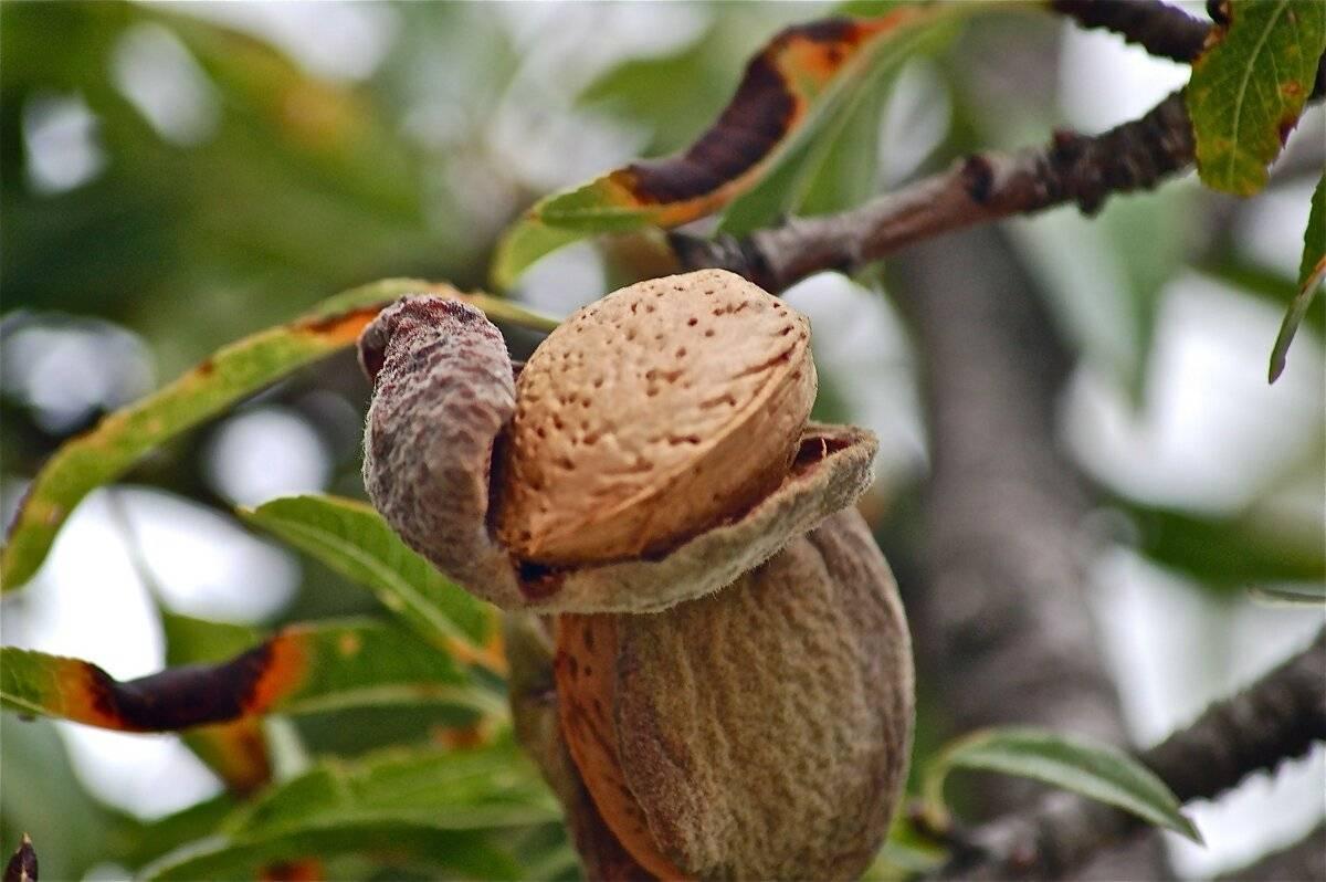 Где и как растет миндаль - деревья и кустарники   описание, советы, отзывы, фото и видео