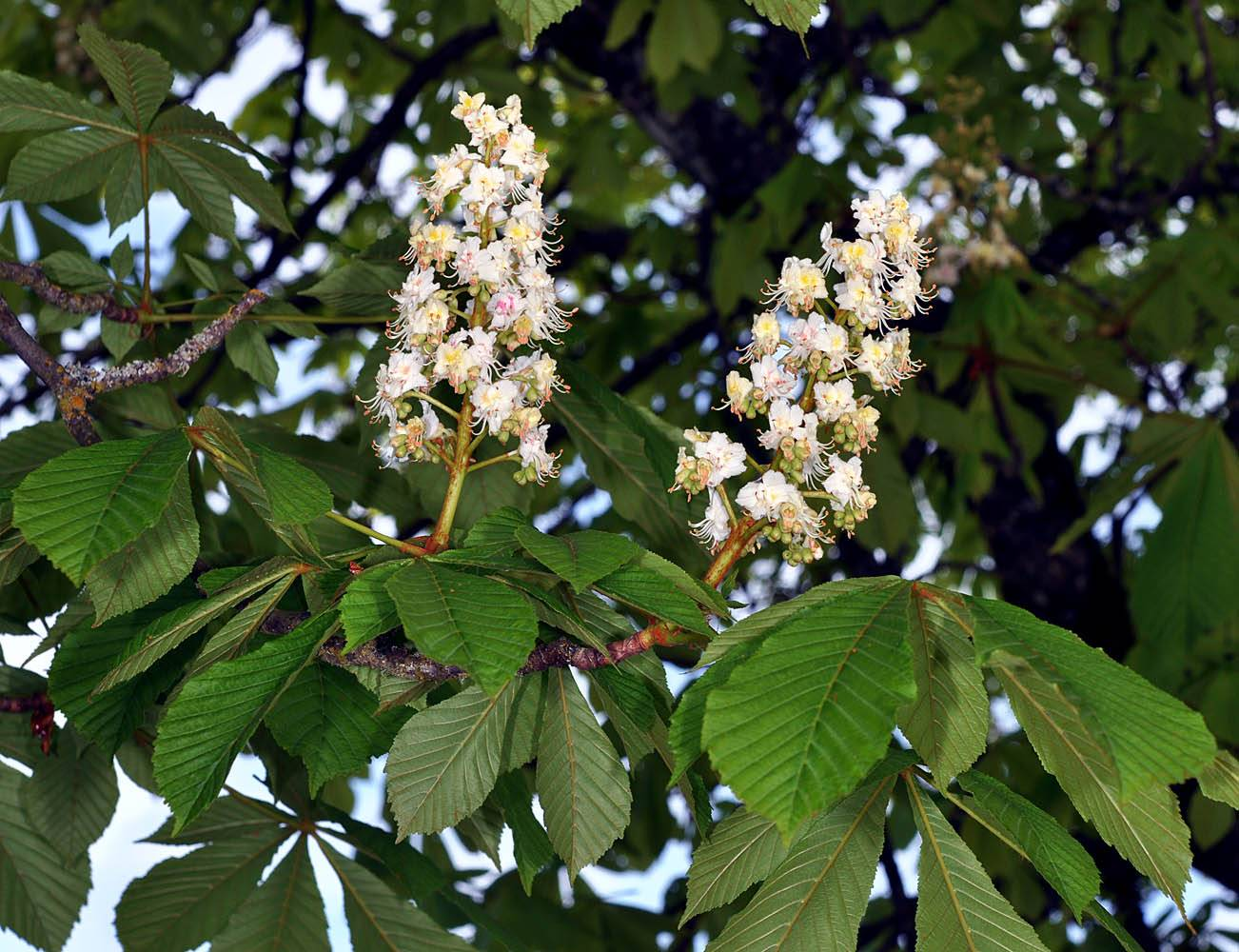 Дерево каштан, где растёт, как цветёт и что это за растение