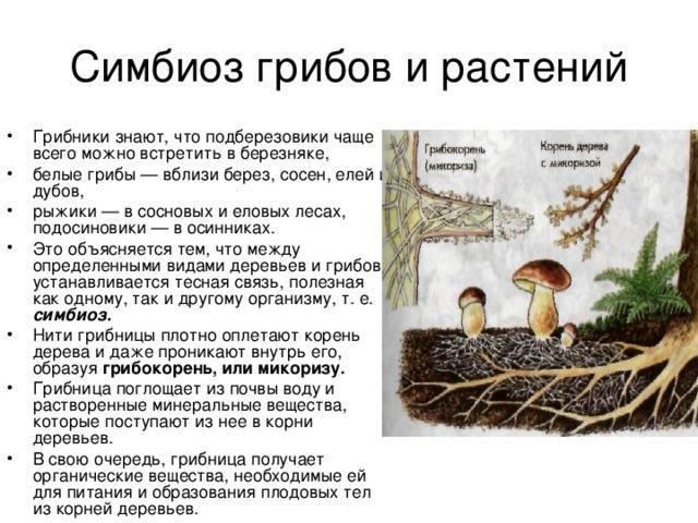 Микориза и ее роль в жизнедеятельности растений – дачные дела