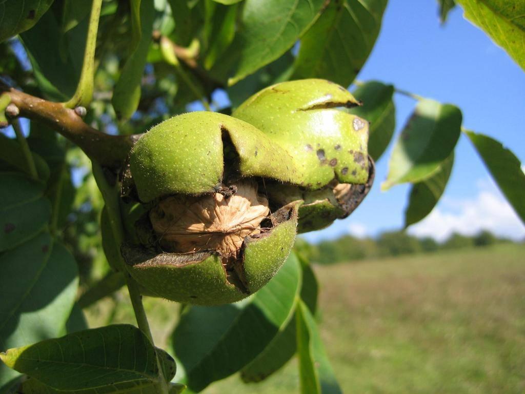 Кто в украине зарабатывает на грецких орехах