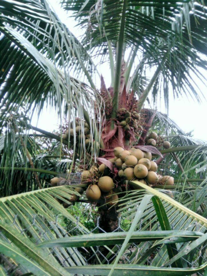 Дерево или кустарник орешник, это что такое, как выглядит, какое его семейство — ореховые или нет, плоды — фрукты или бобовые, где, кроме россии, растет и сколько?