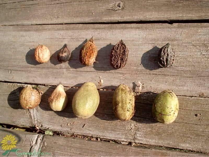 Ланкастерский орех - альтернатива грецкому! - огород, сад, балкон - медиаплатформа миртесен