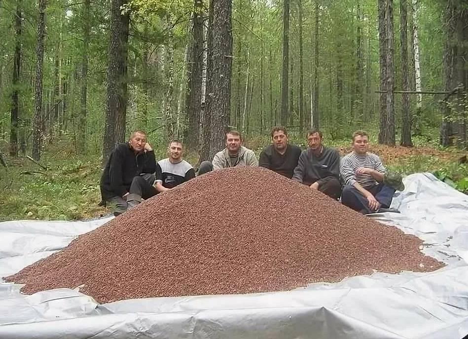 Кедровые орехи: настойка на водке, лечебные свойства кедровых орехов, применение в целебных целях