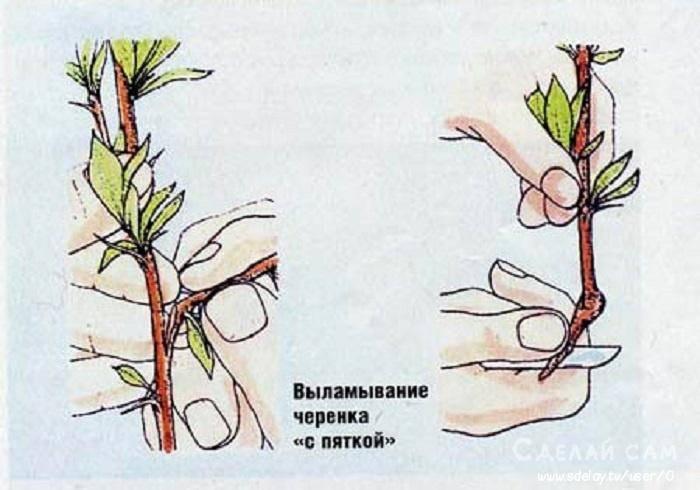 Миндальное дерево: фото, описание, посадка и уход - sadovnikam.ru