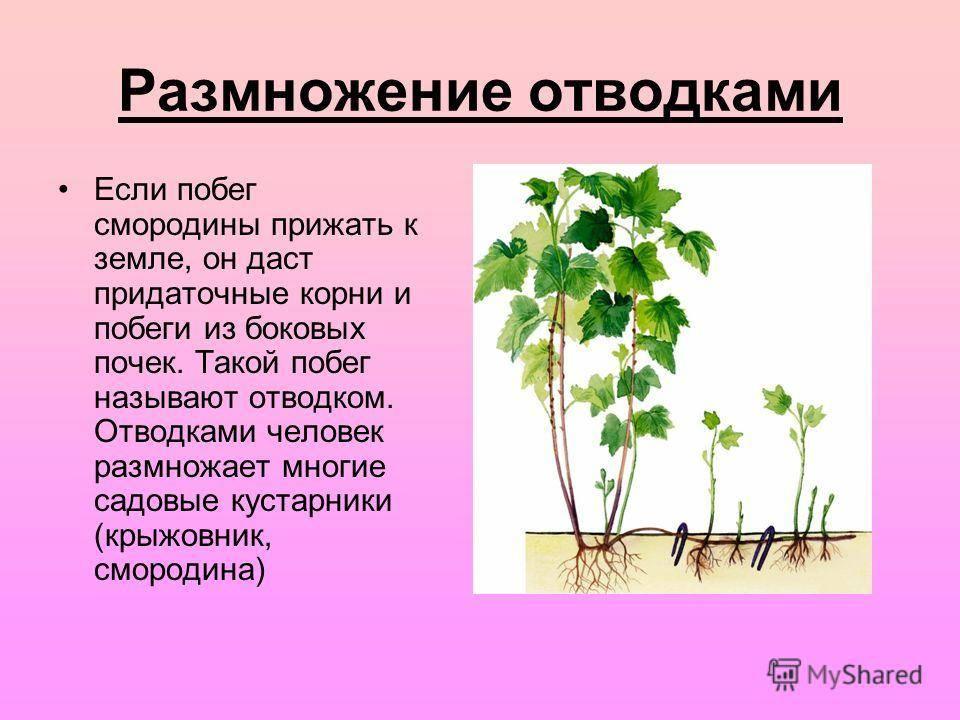 Вегетативное размножение растений (корневищами, усами, луковицами, почками; живорождение)