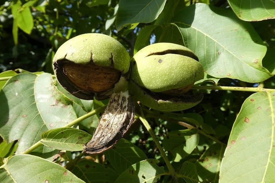 Ореховый сад: бизнес на орехах, урожайность с 1 га, бизнес план
