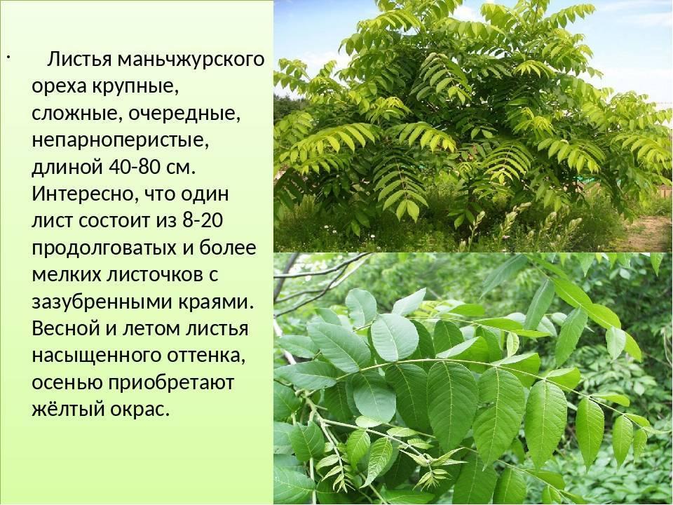 Маньчжурский орех и его описание