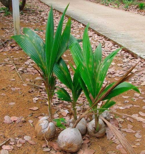 Как вырастить пальму из кокоса в домашних условиях.