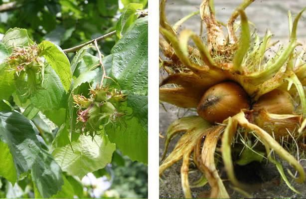 Медвежий орех (лещина древовидная): польза и вред, выращивание
